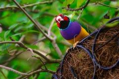 五颜六色的Gouldian雀科 免版税库存照片