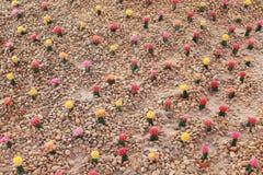 五颜六色的gymnocalycium仙人掌庭院 免版税库存照片