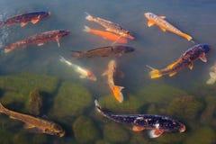 五颜六色的Koi或鲤鱼日本人鱼 免版税库存图片