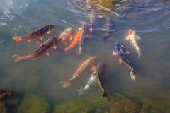 五颜六色的Koi或鲤鱼日本人鱼 库存图片