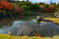 五颜六色的koi鱼在有反射在水中的秋叶的一个平安的日本池塘 免版税库存照片