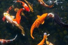 五颜六色的koi鲤鱼在一个池塘在日本 图库摄影
