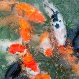 五颜六色的Koi鲤鱼 免版税库存照片