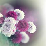 五颜六色秋天的菊花 图库摄影