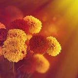 五颜六色秋天的菊花 免版税库存图片
