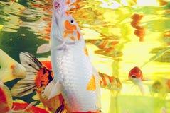 五颜六色织成锦缎的鲤鱼 库存照片