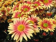 五颜六色美丽的菊花许多 免版税库存照片