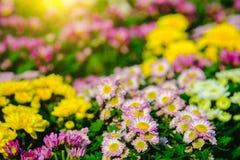 五颜六色菊花花在庭院里 选择聚焦和阳光作用 图库摄影