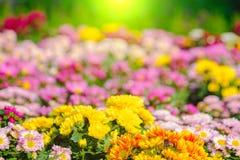 五颜六色菊花花在庭院里 选择聚焦和阳光作用 免版税库存图片