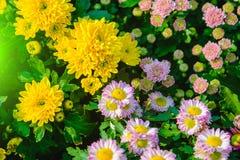 五颜六色菊花花在庭院里 选择聚焦和阳光作用 免版税库存照片