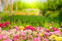 五颜六色菊花花在庭院里 选择聚焦和阳光作用 库存照片