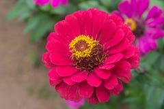 五颜六色菊花花开花 库存图片
