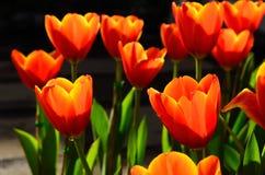 五颜六色郁金香在公园 免版税库存图片