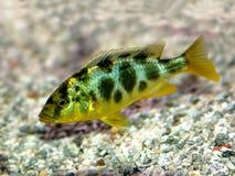 五颜六色非洲的丽鱼科鱼 免版税库存图片