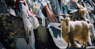 亚丁山羊  免版税库存照片