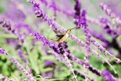 亚伦的蜂鸟 图库摄影