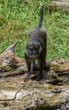 亚伦` s沼泽猴子 免版税库存照片