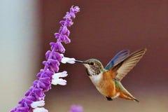 亚伦` s Hummimhbird 免版税库存图片