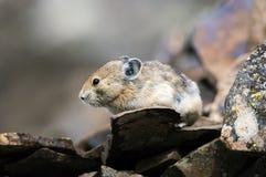 亚伯大加拿大岩石山的pika 图库摄影