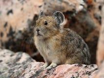 亚伯大加拿大碧玉国家公园pika 免版税库存图片