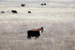 亚伯大肉用牛 免版税库存图片