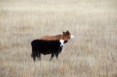 亚伯大肉用牛 库存照片
