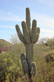 亚利桑那仙人掌沙漠柱仙人掌 库存照片