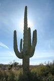 亚利桑那仙人掌沙漠柱仙人掌 库存图片