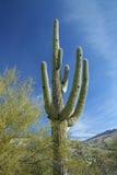 亚利桑那仙人掌沙漠柱仙人掌 免版税图库摄影