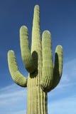 亚利桑那仙人掌沙漠柱仙人掌 免版税库存照片