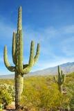 亚利桑那仙人掌沙漠柱仙人掌 免版税库存图片