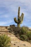 亚利桑那仙人掌沙漠风景横向的柱仙&# 库存照片