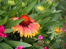亚利桑那太阳天人菊的美好的颜色 免版税库存图片