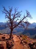 在足迹附近的树在大峡谷国家公园 免版税库存图片