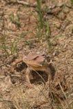 亚利桑那有角的蜥蜴 免版税库存照片