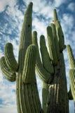 亚利桑那柱仙人掌耸立的图森 库存图片