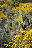 亚利桑那沙漠仙人掌和野花 免版税库存照片