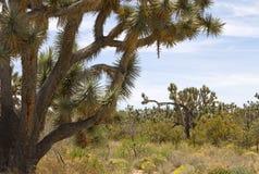 亚利桑那沙漠约书亚树 免版税库存照片
