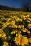 亚利桑那沙漠野花 库存图片