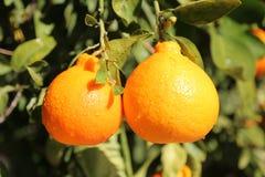 亚利桑那甜点橘栾果 库存图片