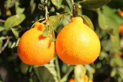 亚利桑那甜点橘栾果 免版税库存照片