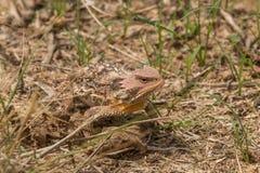 亚利桑那角蟾蜥蜴 免版税库存照片