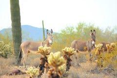 亚利桑那野生驮货驴子 库存照片