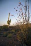亚利桑那,图森,美国, 2015年4月9日,西部的巨人柱国家公园,在日落的柱仙人掌仙人掌 免版税库存图片
