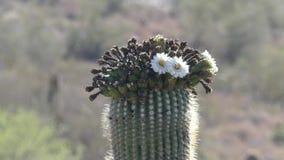 亚利桑那,沙漠,关闭一个柱仙人掌仙人掌的上面与飞行在花附近的蜂的 股票录像