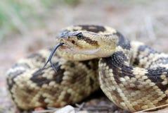 亚利桑那blacktail响尾蛇 库存图片