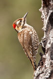 亚利桑那s strickland啄木鸟 图库摄影