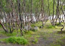 亚北极区的桦树丛林在湖的银行的夏天 库存照片