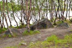 亚北极区的桦树树丛在湖的银行的夏天 库存照片