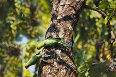 亚历山大诗行长尾小鹦鹉Psittacula eupatria Bandhavgarh老虎储备,中央邦国家的印度 图库摄影